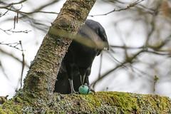 An easy meal !! (Dougie Edmond) Tags: ayr scotland unitedkingdom gb birds bird nature wildlife breakfast spring