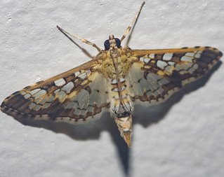 Samea cf. ecclesialis - Assembly Moth / Stained-Glass Moth (Guenée, 1854)