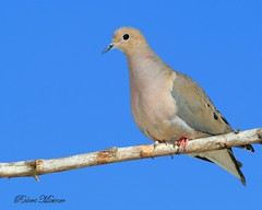 Mourning Dove on Blue (Bob the Birdman and All Around Nature Guy) Tags: mourningdove zenaidamacroura robertmiesner bobthebirdman dove bird animal wildlife nature