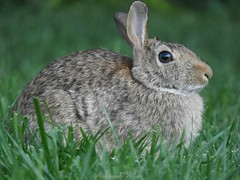 Happy Easter! (NaturewithMar) Tags: bunny happy easter fauna coth coth5