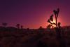 _DSC7717 (andrewlorenzlong) Tags: joshua tree national park joshuatree joshuatreepark joshuatreenationalpark california desert
