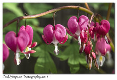Bleeding Hearts (Paul Simpson Photography) Tags: dicentra paulsimpsonphotography imagesof imageof photoof photosof sonya77 red bleedingheart plant flowers flower hearts heart leaves leaf may2018