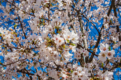 Spring Blossoms (randyherring) Tags: floral natural bloom spring tree white flower nature springtime branch blooming blossom beautiful flora fresh closeup beauty season blossoming sunny plant outdoor botanical blossoms botanic bokeh whiteblossom springblossoms treeblossom flowers beautifulspring springtrees