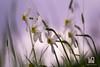 GRUPPO (Lace1952) Tags: primavera fiore fioriture narcisi gruppo sfocato bokeh fuorifuoco controluce prato pascolo