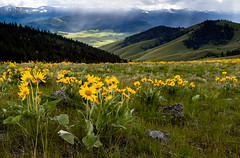 Spring Flowers (ebhenders) Tags: national bison range arrow leaf balsam root flower yellow green spring mountains clouds sun rays
