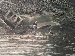 20180329 Hooded Merganser (plumheadedfinch) Tags: birds anseriformes anatidae lophodytes lophodytescucullatus hoodedmerganser pennsylvania month03march 2018