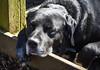 Schnoozing in the sunshine (littlestschnauzer) Tags: dog york bird prey centre uk black schnoozing sleepy basking sunshine sunbathing sun warmth spring day dogs
