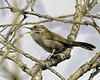 Bewick's wren singing (Patrick Dirlam) Tags: oceano lagoon land birds bewicks wren songbirds