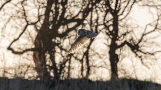 Barn Owl, (Tyto alba).