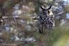 Why The Long Face? (Long-Eared Owl) - Explored (Mitch Vanbeekum Photography) Tags: longearedowl long ear eared owl perched nj newjersey tree mitchvanbeekum mitchvanbeekumcom canoneos1dx asiootus