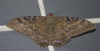 Ascalapha odorata ♂ - Black Witch (Linnaeus, 1758)