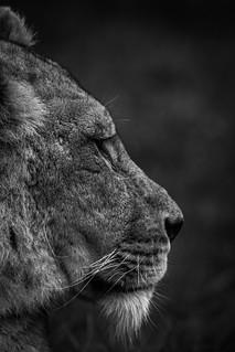 Longleat Lion