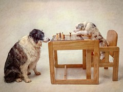 Please listen to me child. (Chris Willis 10) Tags: chess sky star dog pets animal domesticanimals canine purebreddog cute puppy mammal indoors sitting friendship younganimal brown oneanimal nopeople looking paw game play sheepdog