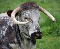 Horny cow (Matt C68) Tags: cow cattle bovine animal horns horny 7dwf