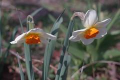 """DSC07700 (Old Lenses New Camera) Tags: sony a7r kodak folmer """"folmer schwing"""" factograph 100mm f45 plants garden flowers daffodils"""