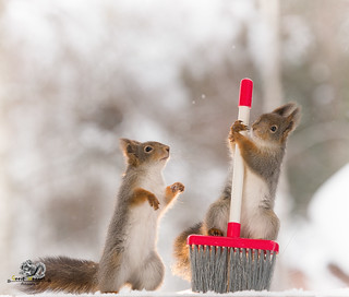 Red squirrel holding a brush