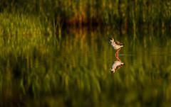 Black-winged Stilt (Peter Quinn1) Tags: salbufereta mallorca blackwingedstilt pollenca reflection lagoon marshland morning morninglight wader puertopollenca mediterranean