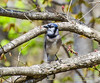 Mr. Blue Jay, My Noisy Backyard Neighbor (Linda S. Montgomery) Tags: bird bluejay bluebird