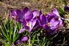 Sonnige Krokusse (Sockenhummel) Tags: krokus wilhelmsaue crocus frühling spring blumen flowers lila bienen pollinator fuji x30 strasenrand
