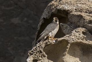 Peregrine Falcon Standing Sentinel