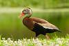 Black-bellied Whistling Duck (stephaniepluscht) Tags: alabama 2018 black belly bellied blackbellied whistling duck ducks woodland plantation plaquemines parish