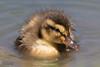 Mallard Chick (Anas platyrhynchos) (Don Dunning) Tags: anasplatyrhynchos animals baby birds california canon7dmarkii canonef100400mmisiiusm chick duck elkgrove elkgroveregionalpark mallard unitedstates water