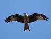 Kite (dusk_rider) Tags: raptor bird prey red kite england uk hertfordshire hitchin dusk rider nikon d7200 200500