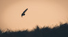 In for the Kill (ianbrodie1) Tags: barn owl sillouette kill bird nature dunes druridge bay northumberland hover fly
