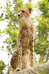 The Curious Cheetah (MudMapImages) Tags: cheetah bigcat conservation zoo