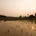 Paddy field sunset