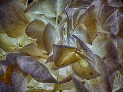 Stars in the spotlight (BeMo52) Tags: backlitcloseup asteriden dried getrocknet hortensie licht macro makro schatten struktur texture hydrangea hortensia smileonsaturday natur nature flora garten