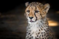 LIttle Ambassador (helenehoffman) Tags: africa nature sandiegozoo cheetah cubs animal animalambassador wildlife conservationstatusvulnerable felidae bigcat feline cub mammal acinonyxjubatus animalsinaction carnivore specanimal coth coth5