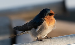 Welcome Swallow, Hastings Marina. (petebond_au) Tags: birdnerd madaboutbirds goldenhour birdphotography twitchers conservation nature birds westernportbay morningtonpeninsula melbourne autumn insectivorous welcome swallow hirundoneoxena