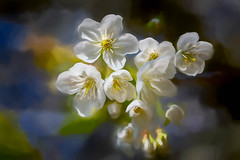 Blossom in the sunshine (RCARCARCA) Tags: trees heartwood stalbans flowers photoartistry forest blossom heartwoodforest 5diii 100mmf28lmacro canon shade woods light