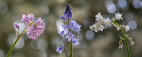 Colour forms of Spanish bluebell (Hyacinthoides hispanica)