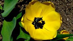 Żółty tulipan. (andrzejskałuba) Tags: polska poland pieszyce dolnyśląsk silesia sudety europe panasoniclumixfz200 roślina plant kwiat flower tulipan tulip żółty yellow zieleń green garden ogród natura nature