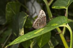 IMGL9453 edited-1 (JohnBeddome) Tags: butterfly wonderland