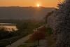 背割堤1824・Bank of Sewari (anglo10) Tags: 八幡市 京都府 japan kyoto 背割堤 淀川 川 river 桜 cherry 夕景 sunset