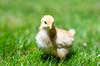 Baby Chickens-1 (sammycj2a) Tags: chick chickens backyardfarm farm chicks pullets straightrun backyard nikon nikkor lightroom
