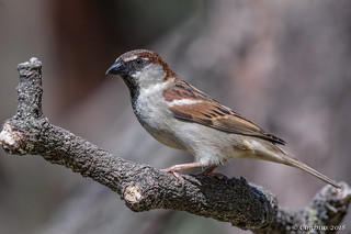 Passer Italiae ♂︎ (Passero italiano, Sparrow).