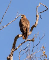 Red Tail Hawk | Alameda County (TariqhCN) Tags: red tail beautiful nature