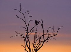vulture tree (Sharpshooter Alex) Tags: tree silhouette vulture africa sunset sky