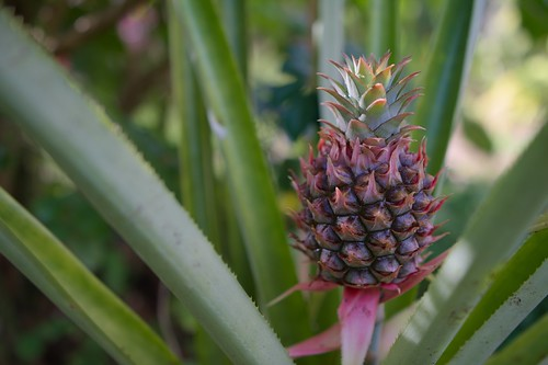 Pineapple; wider view