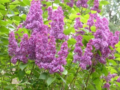 Lilas 04.2018 (ardoise08) Tags: vouziers ardennes argonne lilas flieder lilac lila