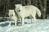 (PaulPagéPhotos) Tags: wolf wolves arcticwolf parcomega lupine wildlife nature d850