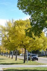 Fall Photos in Edmonton (Vegan Butterfly) Tags: outside outdoor city urban edmonton alberta street trees fall autumn vehicles yellow green
