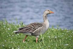 "greylag4 • <a style=""font-size:0.8em;"" href=""http://www.flickr.com/photos/157241634@N04/41793696532/"" target=""_blank"">View on Flickr</a>"
