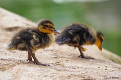 Pato (Casimemato) Tags: animal duck pato pequeño little cria lago roca verde green
