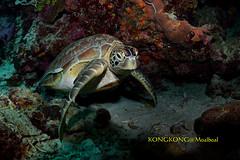 Sorry to bother you @_@ (kayak_no1) Tags: nikon d800e nauticamhousing 15mmsigmafisheye fisheye ysd1 underwater underwaterphotography wa wideangle diving scubadiving uw moalboal philippines turtle