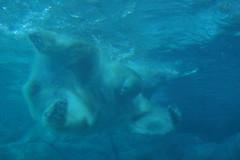 Polar (dotcomdotbr) Tags: sony alpha a77 sal55300 aquário são paulo sp animal mamifero urso polar branco água nadando